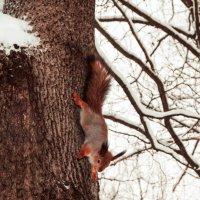 Белка песенки поет ,да орешки все грызет... :: Irina Novikova
