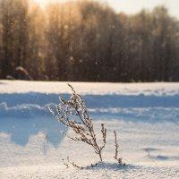 полынь зимой :: Pavel Stolyar