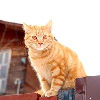Рыжий кот :: Ольга Чирятникова