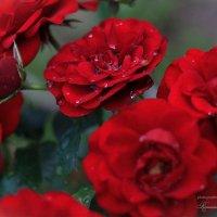 Утренняя роса на чайных розах :: Оксана Романова