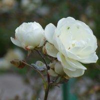 Не знаю. Похожи на розы. :: Вячеслав Медведев