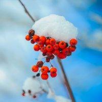 грозди рябины в снегу :: Тася Тыжфотографиня