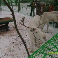 На оленьей ферме :: Виктор Мухин