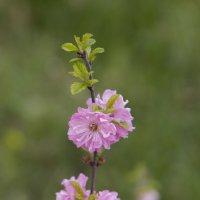 цветение сакуры_23.05.13 :: Екатерина Калашникова