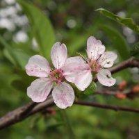 Цветы вишни :: Наталья Батылина