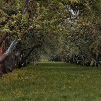 Яблоневый сад вечером в Коломенском :: Вера Лучникова