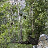 Дерево :: Михаил Ивах