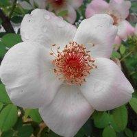 цветы :: Сергей Кондратович