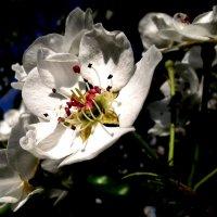 Яблоня в цвету :: Анечка Вакуленко