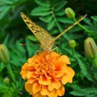 Бабочка :: Роман Ткаченко