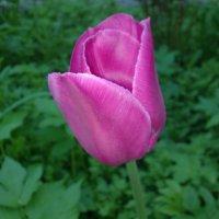 Тюльпан :: Наталия Павлова