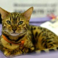 Кот - участник выставки кошек 2013 :: Алёна Михеева