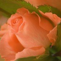 Роза :: Анастасия Федоскина