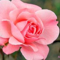 Майская роза :: Елена Васильева