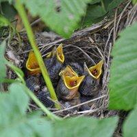 птенчики живущие  в кустах малины-) :: Вера Аверьянова