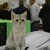 Международная выставка кошек :: Юлия Сергеевна