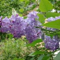 Весны дыханье-первый цвет... :: Наталия Павлова