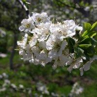 Слива в цвету :: Евгения Губарева