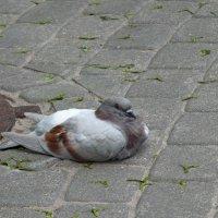 Голубь в отдыхе :: Edgars Silinieks