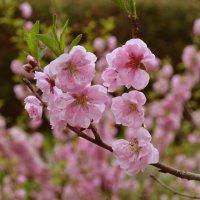 цветущее дерево :: Венера Хадиева