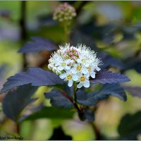Physocarpus opulifolius ( пузыреплодник калинолистный) :: Виктор Марченко