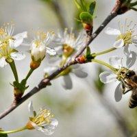 Цветет вишня :: Владимир Зыбин