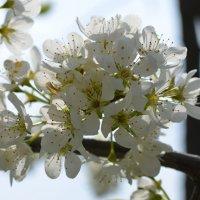 Весеннее цветение :: Сергей Саблин