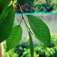 Листки вишни :: Александр Терещук