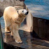 белый медведь :: Любовь Левицкая