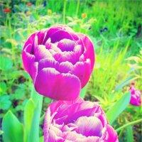 Тюльпаны :: Элина Корягина