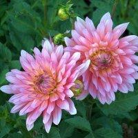 цветы :: Августа