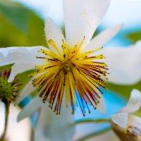 Зимние цветы Израиля :: Николай Волков