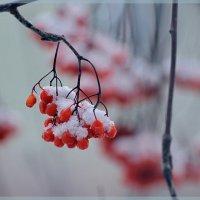 Снежная рябина :: Татьяна Соловьева