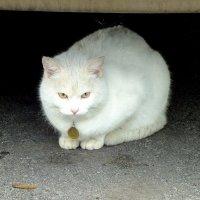 """кот """"Пятак"""" :: Александр Прокудин"""