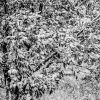 Яблони в снегу :: Елена Бразис