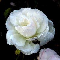 Зимняя роза... :: Владимир Секерко