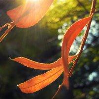 В лучах осеннего солнца :: Тамрико Дат