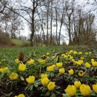Эрантис, или весенник зимний-весенняя полянка в первых числах февраля.... :: Galina Dzubina
