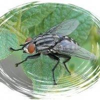 Просто муха... :: Елена Миронова