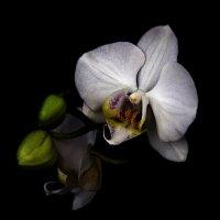 Белая Орхидея Фаленопсис :: Вика К.