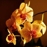 Веточка орхидеи в лучах солнца :: Оксана Лада