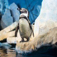 Пингвин :: Николай В