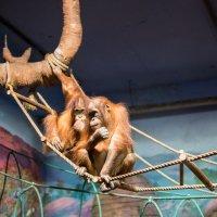 Шимпанзе :: Николай В