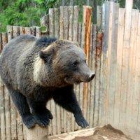 Знакомьтесь, медведь Балу :: Виктория Титова