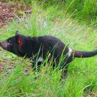 Тасманийский дьявол :: Елена Назарова