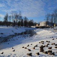 Утки зимуют. :: zoja