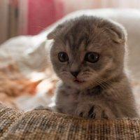 Вкусный интерес у котёнка :: Юрий Пузанов