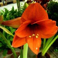 Красный цветок :: Вера Щукина