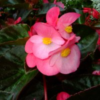 begonia semperflorens :: Peteris Kalmuks