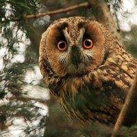 Тётушка сова :: Alexander Andronik